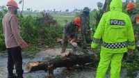 Tim SAR Batalyon C Pelopor dan BPBD Bone Gerak Cepat Evakuasi Pohon Tumbang
